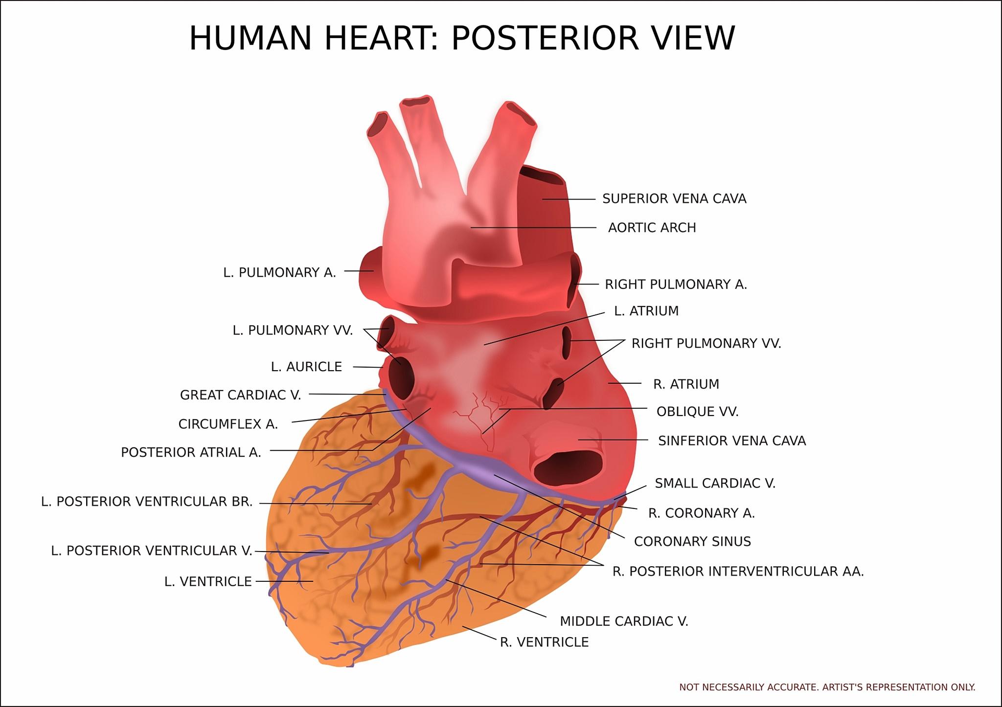 dubens organai su hipertenzija staigus slėgio sumažėjimas su hipertenzija